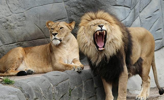 Lions sur la défensive